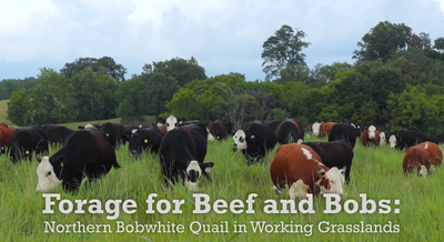 Forage for Beef and Bobs